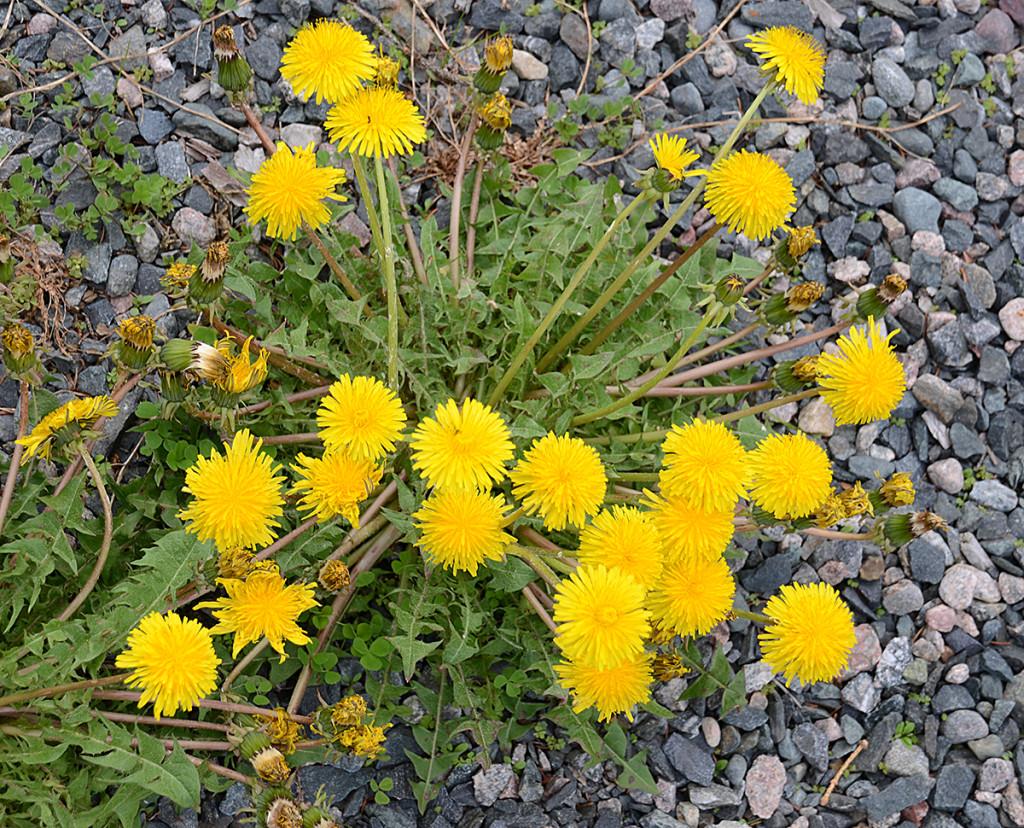 Dandelions 4 web
