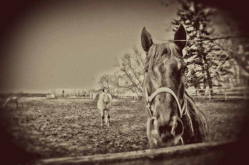 Horses By Fence 5.jpg web